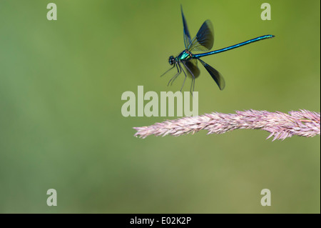Banded Demoiselle, Calopteryx splendens - Stock Photo