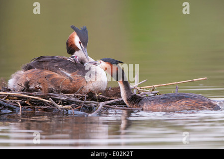 great crested grebes, podiceps cristatus - Stock Photo