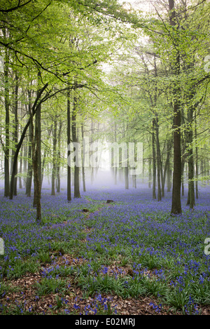 Misty Bluebell and Beech tree woodland in the English countryside - Stock Photo
