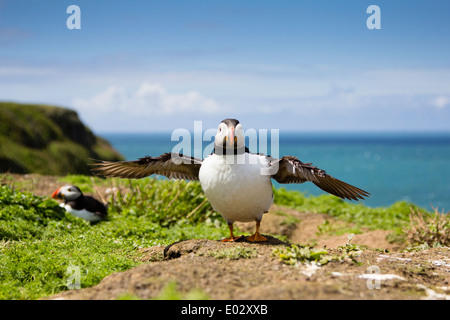PEMBROKESHIRE, WALES An Atlantic puffin (Fratercula arctica) spreads its wings. - Stock Photo