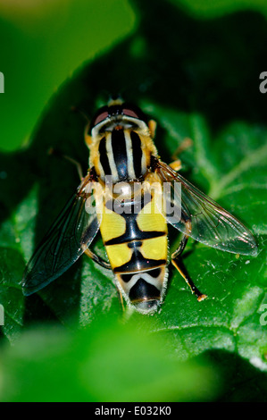 Hover-fly at rest on leaf. Dorset, UK September 2012 - Stock Photo