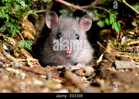 One common brown rat emerging from a hole UK - Stock Photo