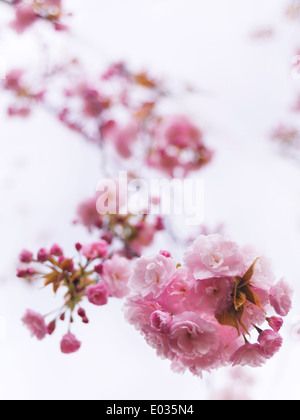 Closeup of pink blossoming Japanese cherry tree branch over light blue sky. P. Lannesiana Sekiyama - Stock Photo