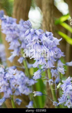 The Spanish bluebell, Hyacinthoides hispanica, in Northamptonshire, England, UK - Stock Photo