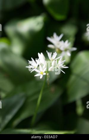 Wild Garlic, Allium ursinum, growing in a deciduous woodland in Northamptonshire, England, UK - Stock Photo