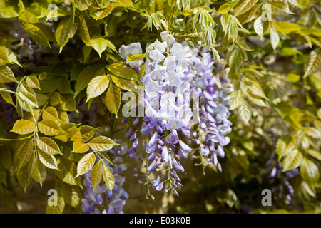 Wisteria growing on a sunny wall in May in Northamptonshire, England, UK - Stock Photo