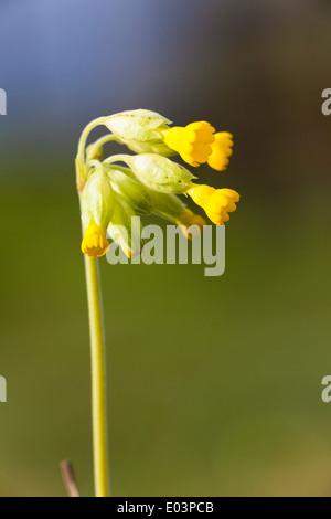 Cowslip (Primula veris), Yorksire, UK, spring - Stock Photo