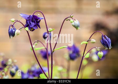 Purple columbine, aquilegia, flowers with acid green leaves - Stock Photo
