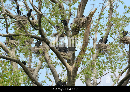 Cormorants on their nest with chicks in Bourgoyen in Ghent, Belgium - Stock Photo