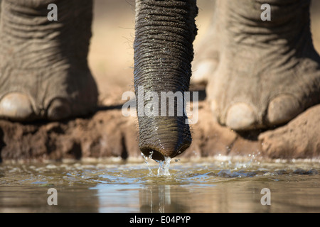 African elephant (Loxodonta africana).Close-up of elephant feet and trunk drinking at waterhole in Mashatu game - Stock Photo