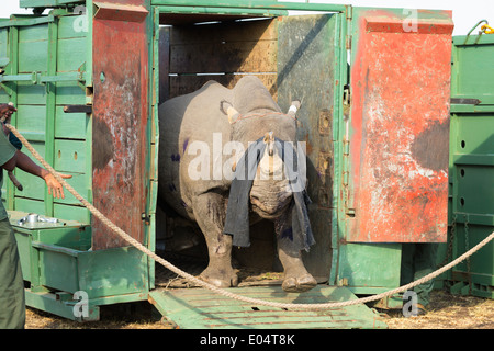 Black Rhinoceros (Diceros bicornis) being released into a protected area.Ithala game reserve.South Africa - Stock Photo