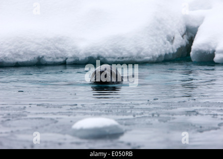 leopard seal hydrurga leptonyx swimming in Fournier Bay between pack ice Antarctica - Stock Photo