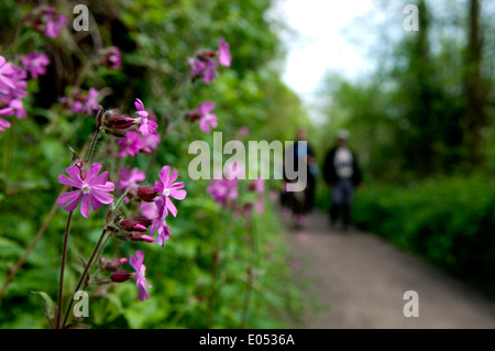 Red Campion flowers (Silene dioica) at Middleton Lakes RSPB reserve, Warwickshire, England, UK - Stock Photo