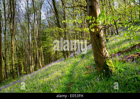 Native Bluebells growing on a steep wooded hillside in Cornwall - Stock Photo