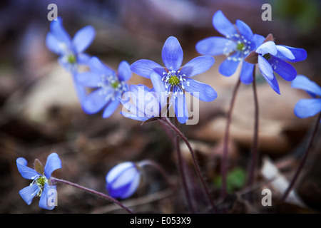 Blue Hepatica flowers in the spring forest. Closeup photo - Stock Photo