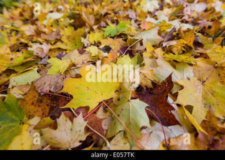Yellow sheets in autumn have dropped from the trees. Coloured season., Gelbe Blaetter im Herbst sind von den Baeumen - Stock Photo