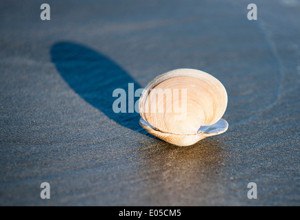 Venus ring shell washed up on beach at low tide throws shadow in morning light. - Stock Photo