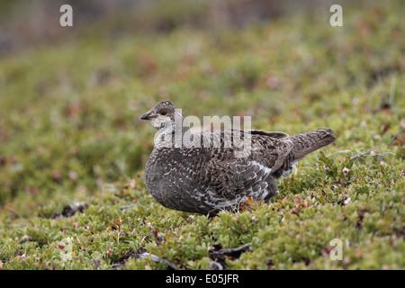 Dusky (Blue) Grouse Dendragapus obscurus, female - Stock Photo