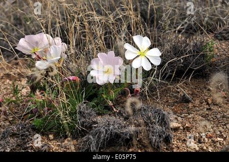 Stemless Evening Primrose Sandia Mtns of New Mexico -USA - Stock Photo