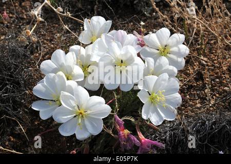 Evening Primrose blossoms adorning a hillside in New Mexico - USA - Stock Photo