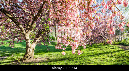 Early morning Japanese Cherry Blossoms in Central Park, NY, USA - Stock Photo