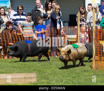Pig racing at Bank Holiday Garden Fair.Preston Park, Stockton on Tees. UK - Stock Photo