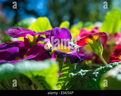 Different Pansies flowers in the garden during spring time - Stock Photo
