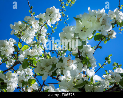 Apple white flower on a clear blue sky background - Stock Photo
