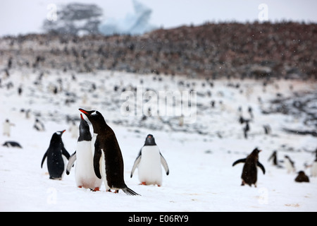 pair of penguins in mutual display on edge of gentoo penguin colony on cuverville island antarctica - Stock Photo