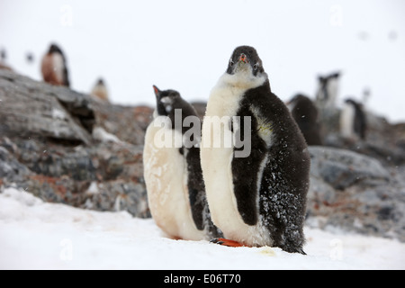 juvenile penguins in gentoo penguin colony on cuverville island antarctica - Stock Photo