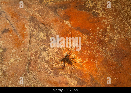 Whip Spider in York Caves, the Kimberley, Western Australia, Australia - Stock Photo