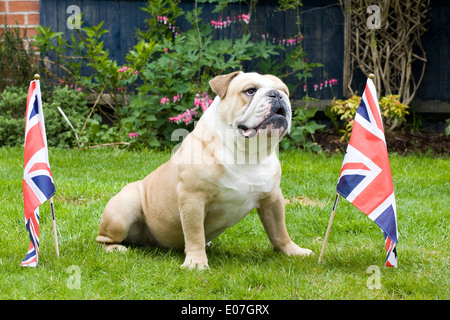 British bulldog with union jack flags - Stock Photo