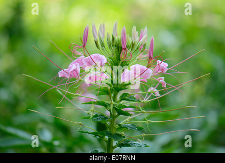 beautiful Spider Flower flower (Cleome spinosa) at Thai flower garden - Stock Photo