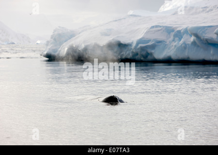 humpback whale logging and breathing on surface of wilhelmina bay Antarctica - Stock Photo