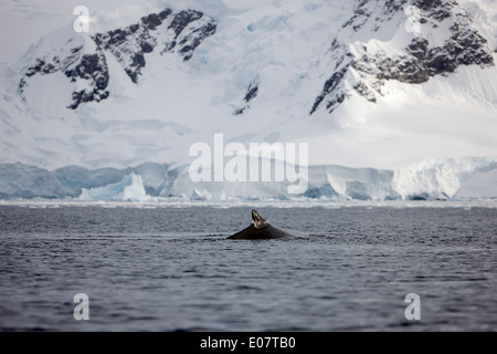 humpback whale surfacing showing dorsal fin in waters of wilhelmina bay Antarctica - Stock Photo