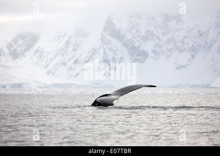 humpback whale lifting its tail above surface of wilhelmina bay Antarctica - Stock Photo