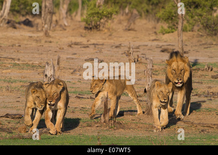 Pride of Lions on the move - Stock Photo