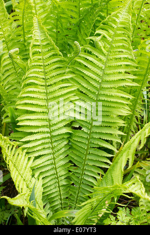 Fronds of the shuttlecock or ostrich fern, Matteuccia struthiopteris - Stock Photo