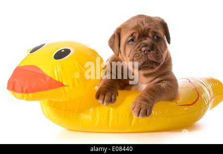 dog water safety - dogue de bordeaux in floatation device - Stock Photo