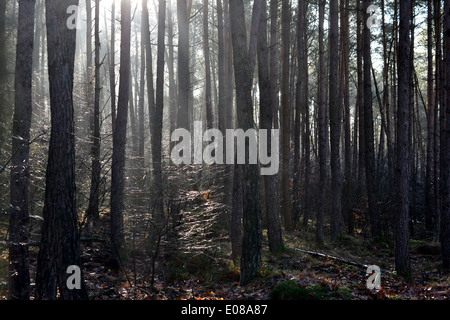 Mysticism with backlight by fog in a wood in Hoenderloo, The Netherlands. - Stock Photo