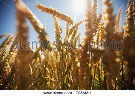 Sunlight falling on wheat field - Stock Photo