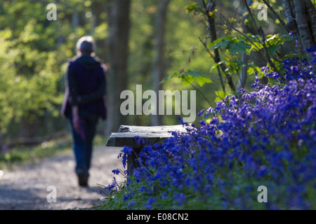 A wooden bench amongst a mass of bluebells with a woman walking past in the background - Stock Photo