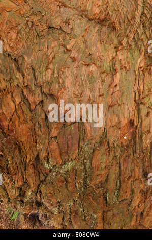 Flaky soft rich orange brown reddish pink fibrous bark on trunk of Cupressus japonica Japanese cedar peels in vertical - Stock Photo