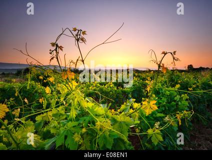 Landscape of sunrise in vineyard. Island Hvar, Dalmatia, Croatia - Stock Photo