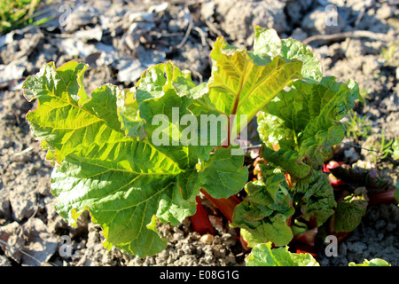 Young sprouts of a rhubarb on the ground in the spring - Stock Photo