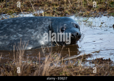 Grey Seal - Halichoerus grypus (Meaning Hooked-nosed sea pig). This image was taken at Donna Nook, Lincolnshire, - Stock Photo