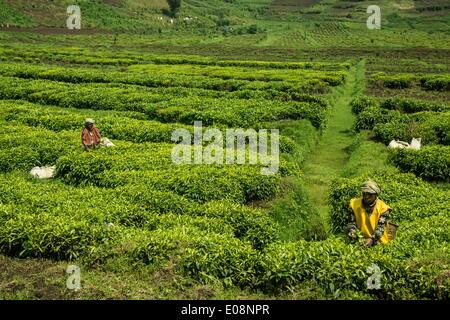 Workers picking tea on a Tea plantation in the Virunga mountains, Rwanda, Africa - Stock Photo