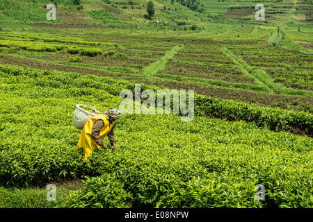 Worker picking tea on a Tea plantation in the Virunga mountains, Rwanda, Africa - Stock Photo