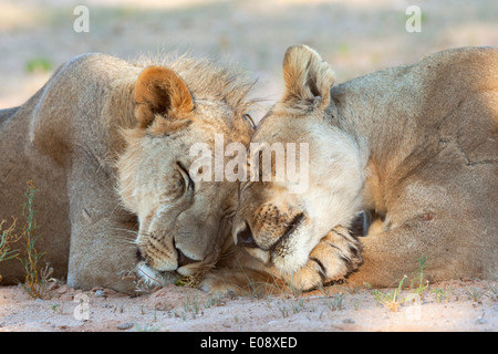 Lion (Panthera leo), pride members resting, Kgalagadi Transfrontier Park, Northern Cape, South Africa, February - Stock Photo
