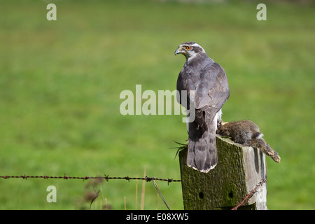 Goshawk Accipiter Gentilis with rabbit on field post taken under controlled conditions - Stock Photo